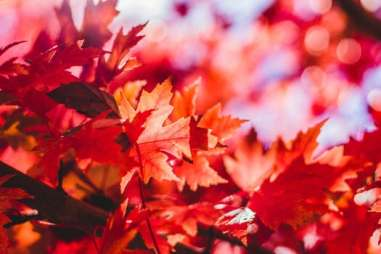 red gold leaves